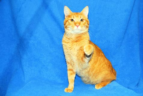 Bob-tailed orange tabby cat Sam who is incontinent beats the odds and finds true love