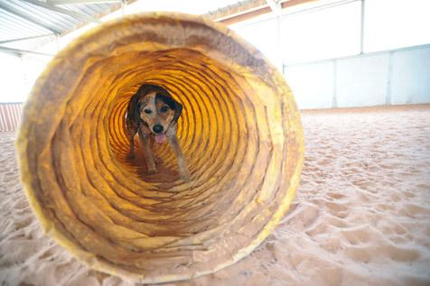 Samuri the dog getting excercise by walking through a tunnel during agility training