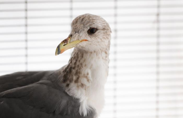 Finn the California gull at Best Friends Animal Sanctuary