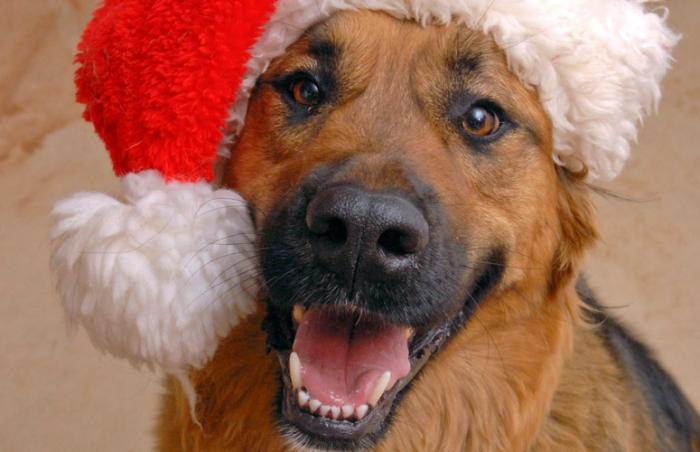 Tobin the adoptable dog wearing a Santa hat