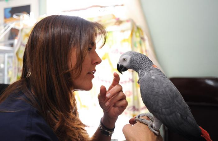 Congo African grey parrot with her caregiver