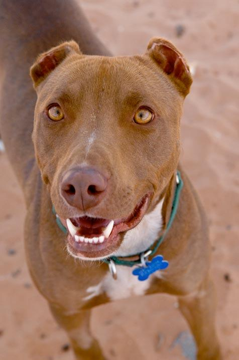 Pit bull terrier mix named Zoom who was abused but is looking forward to better days.