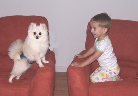 White Pomeranian named Angel wearing a bellyband to help with his incontinence and a toddler