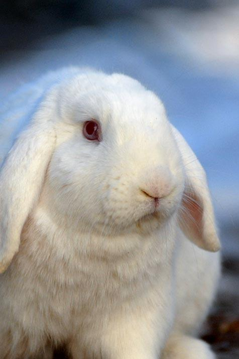 All-white rabbit with floppy ears