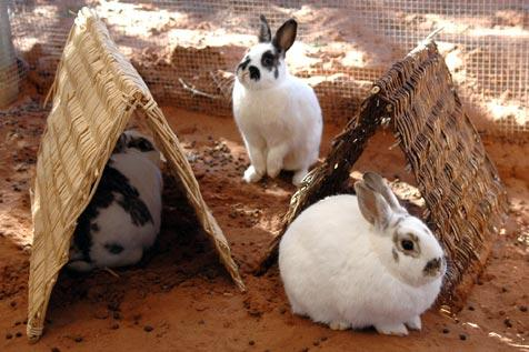 Bunnies enjoying their A-frame wicker tunnels