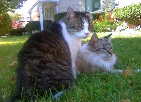 Two felines who have FIV enjoying time on the grass