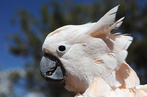 Charlie the Moluccan cockatoo