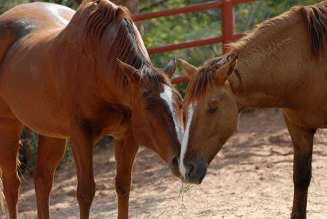 Two horse friends, Chewy and Cowboy