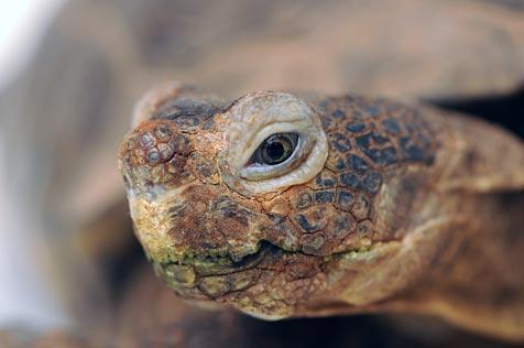 Rescued desert tortoise found in drug raid