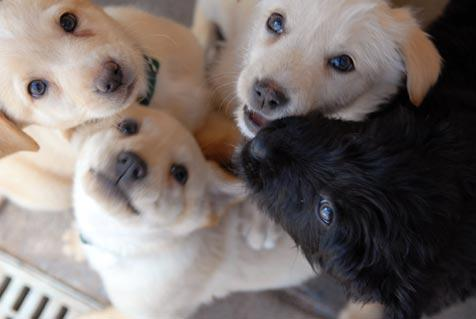 Three yellow puppies and one black puppy who were saved from being abandoned in Arizona