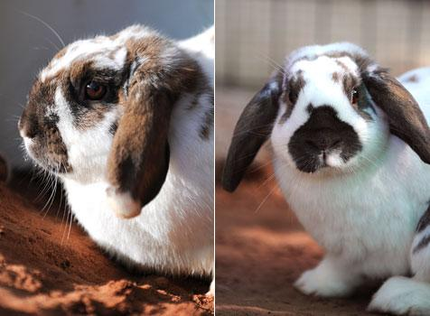 Two lop rabbits who were rescued