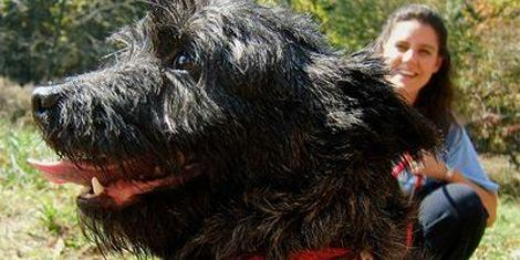 Black cairn terrier rescued from a Virgina puppy mill