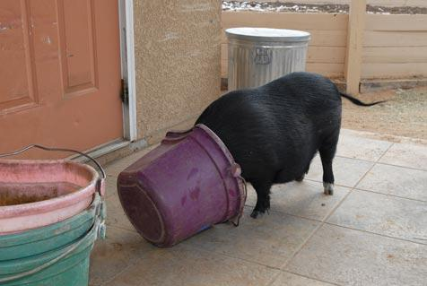 Daphne the pig helping herself to the horse food and ruining her diet in the process