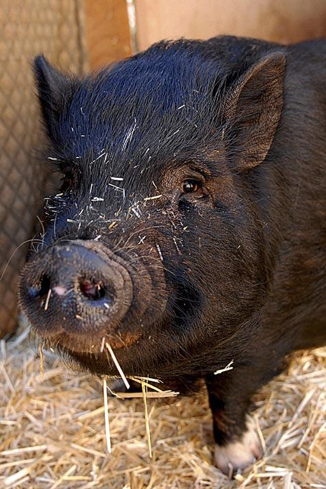 Arthritic pig named Pepper is feeling much better after surgery