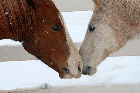 Two horses, Darby and Red Wing, who have knee problems and are best friends