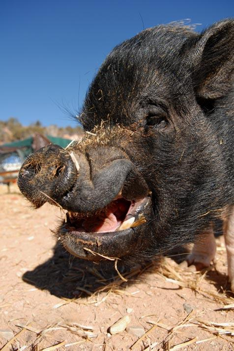 Rex the potbellied pig smiling with straw on his snout