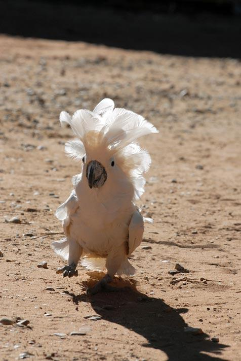 Cockatoo marching outside to the bird aviary