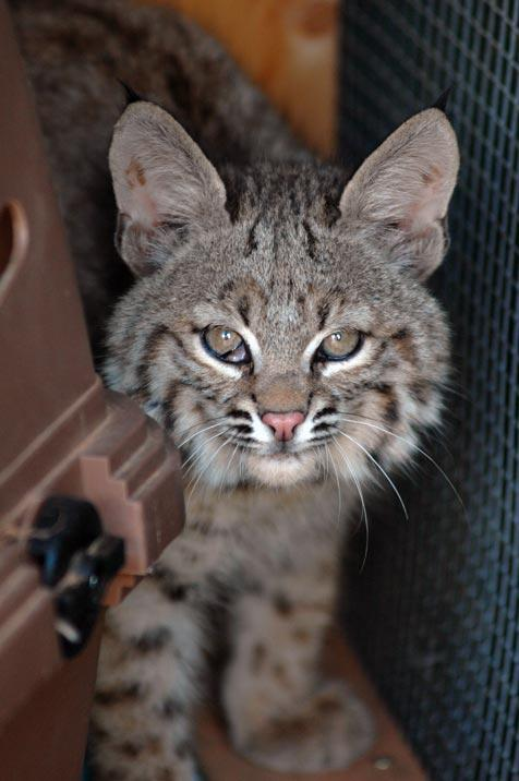 Baby bobcat who was rescued