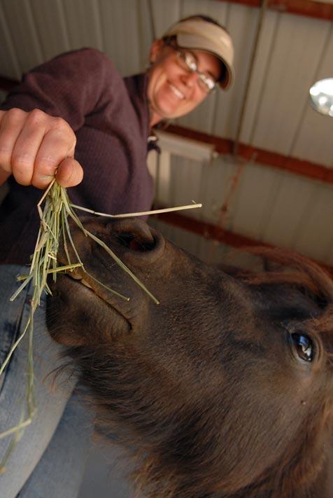 Miniature horse being fed grass