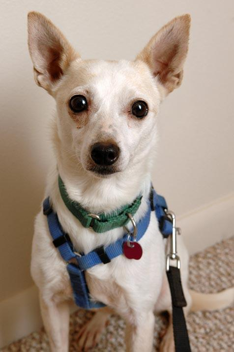 Chihuahua named Twindle who was rescued from a Nebraska puppy mill