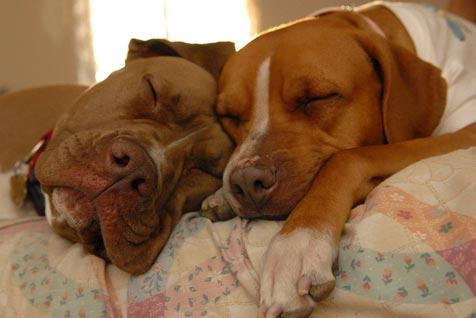 Two pit bulls sleeping