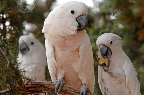 Cockatoos with trimmed wings perched in a tree