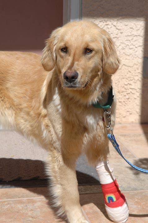 Ava the golden retriever with a bandage on her leg