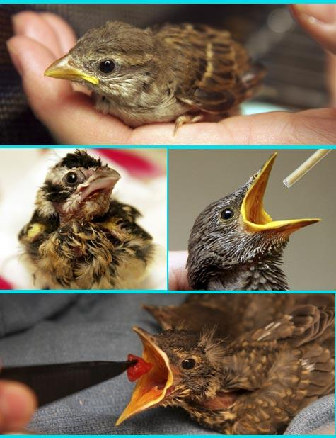 Baby birds who fell from their nests receiving care