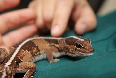 Cute fat-tailed gecko