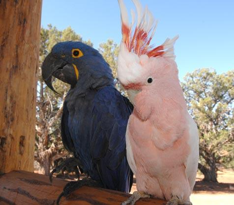 Hyacinth macaw and Major Mitchell's cockatoo