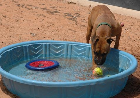 Layla the Vicktory dog checking out toys in the pool