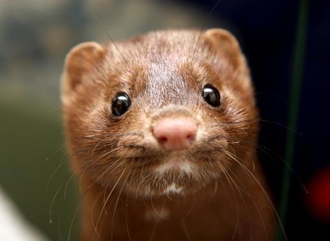 Genetically engineered mink who was rescued