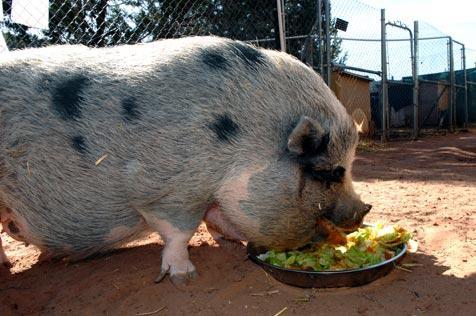 Beautiful pig eating greens