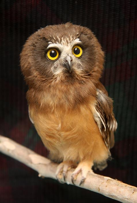 Fledgling Northern saw-whet owl