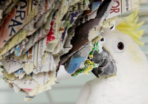 Parrot chewing on a phone book