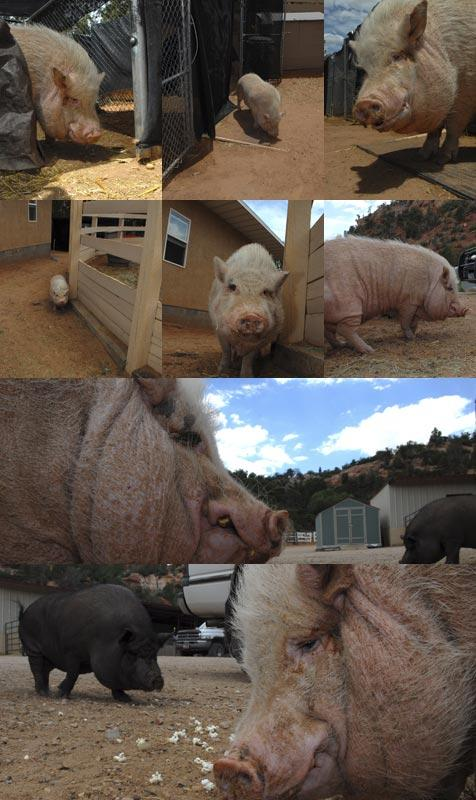 Collage of photos of Babe the pig exploring his environment