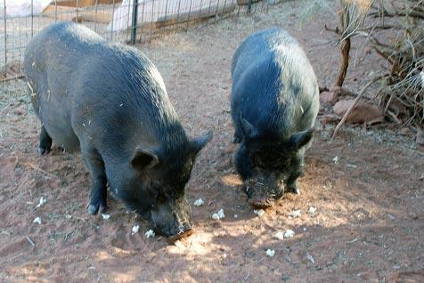 Two pigs eating popcorn