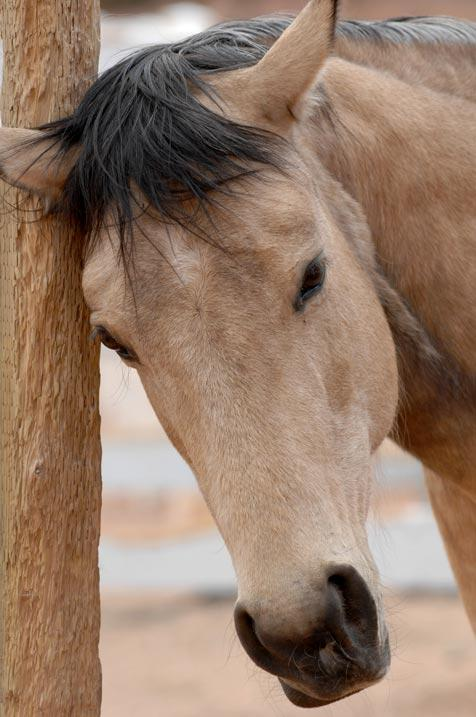 Riley the horse will have surgery and be fitted for a prosthetic leg