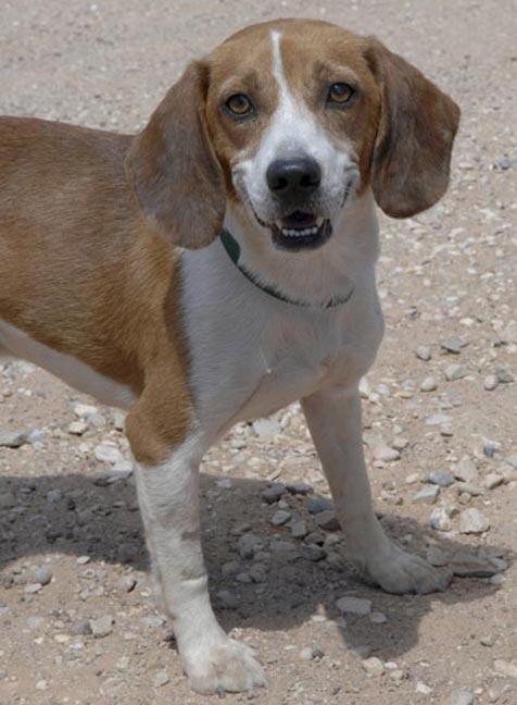 Shiloh the shy beagle