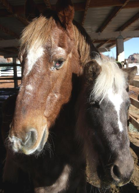 Sira the pony who has Cushing's Disease