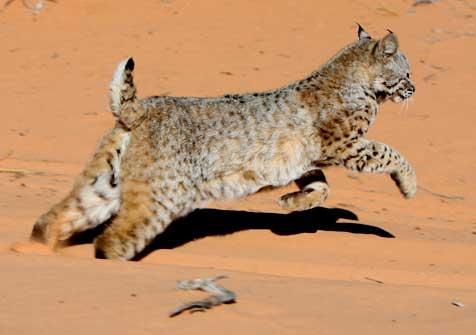 Bobcat being released into the wild