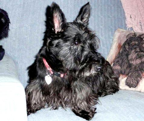 Scottish terrier named Willa who has a neurological disorder called ataxia who was rescued from a puppy mill in Virginia