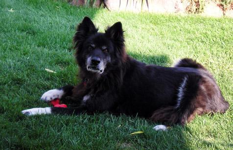 Akila the shy senior dog