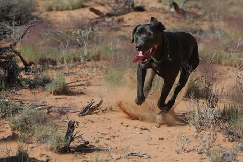 Black dog running at Best Friends Animal Sanctuary