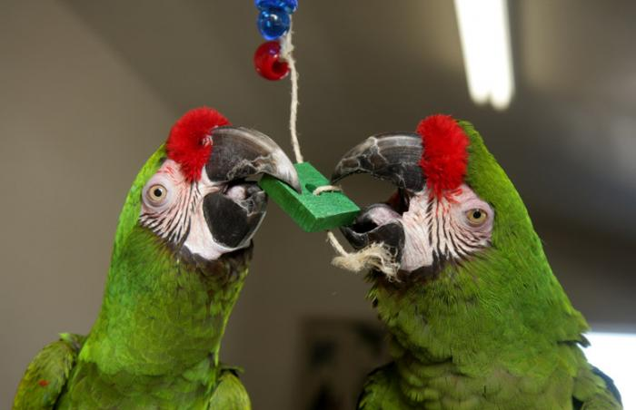 Two parrots playing with donated toys