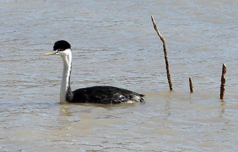 Western grebe released into Quail Creek Reservoir in Hurricane, Utah