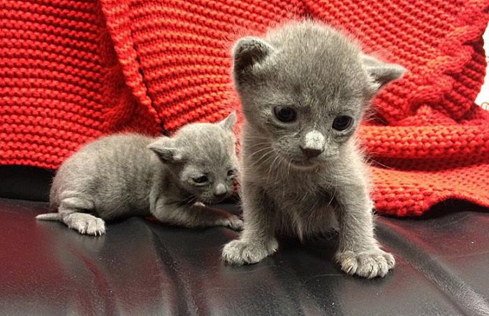 Two grey kittens from Best Friends in Los Angeles