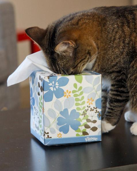 Cat sniffing a Kleenex box