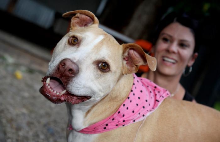 Spayed pit bull wearing a pink bandana