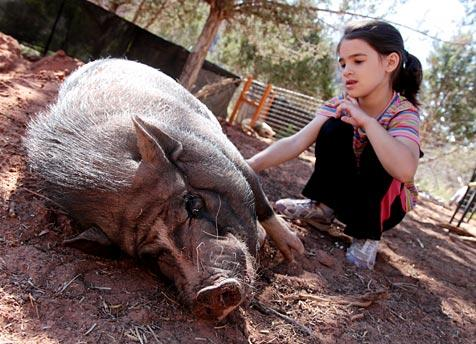 Pig who came from a hoarding situation allowing a young girl to pet him